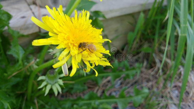 zbieracki pollen zdjęcie stock