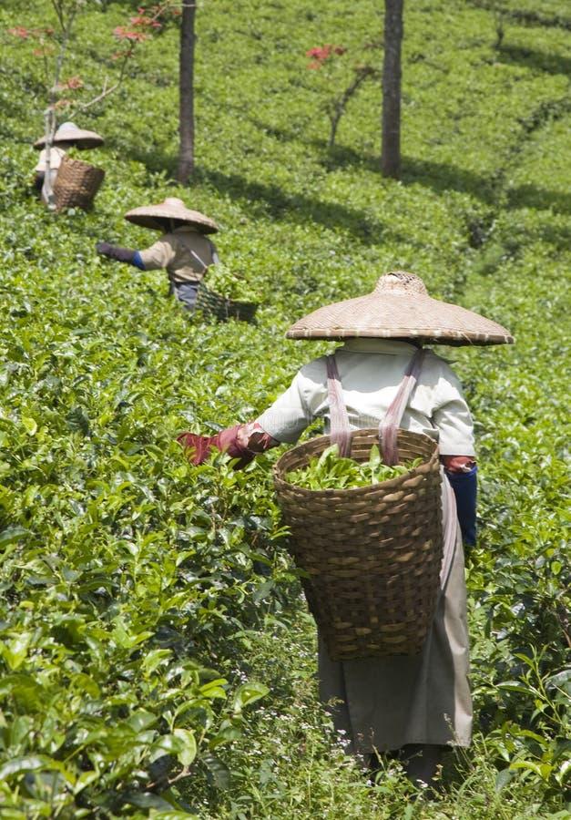 zbieracze herbaciani obraz royalty free