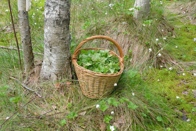 Zbierający liście używać dla leczniczych ziołowych herbat w koszu w bagnie obrazy stock