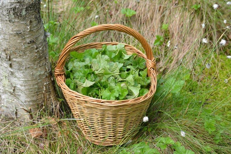 Zbierający liście używać dla leczniczych ziołowych herbat w koszu w bagnie zdjęcie royalty free