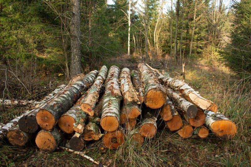 Zbierający suchy drewno w lesie cięcie loguje się drewno Przemysłowy przygotowanie lasowi produkty fotografia stock