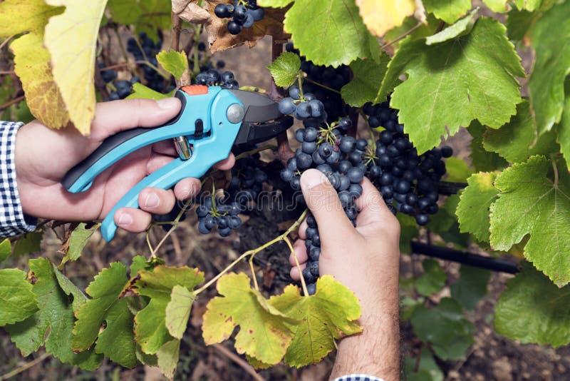 Zbierający zrywań winogron mężczyzna Wręcza Secateurs fotografia stock