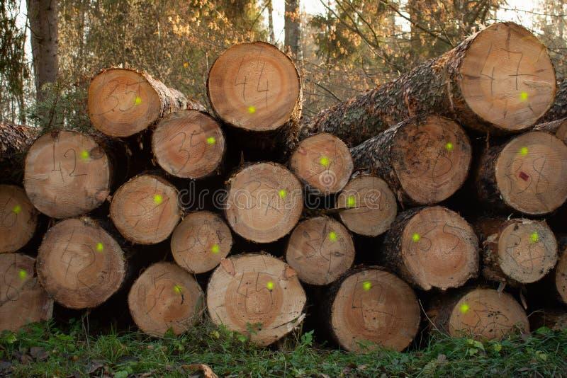 Zbieraj?cy suchy drewno w lesie ci?cie loguje si? drewno Przemys?owy przygotowanie lasowi produkty fotografia royalty free