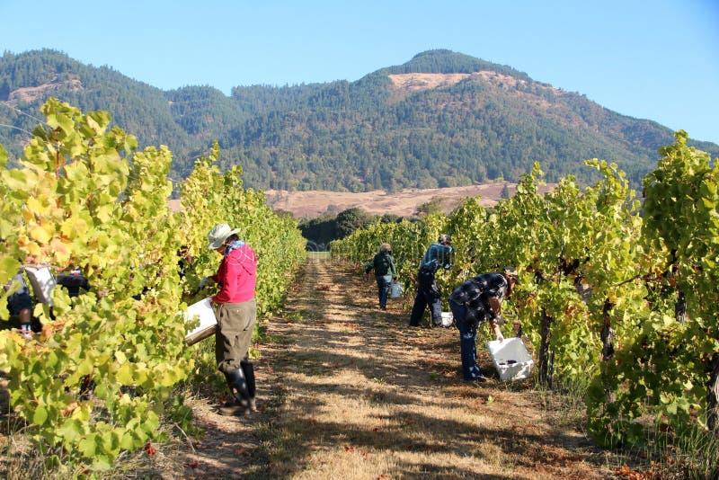 zbieranie winogron obrazy stock