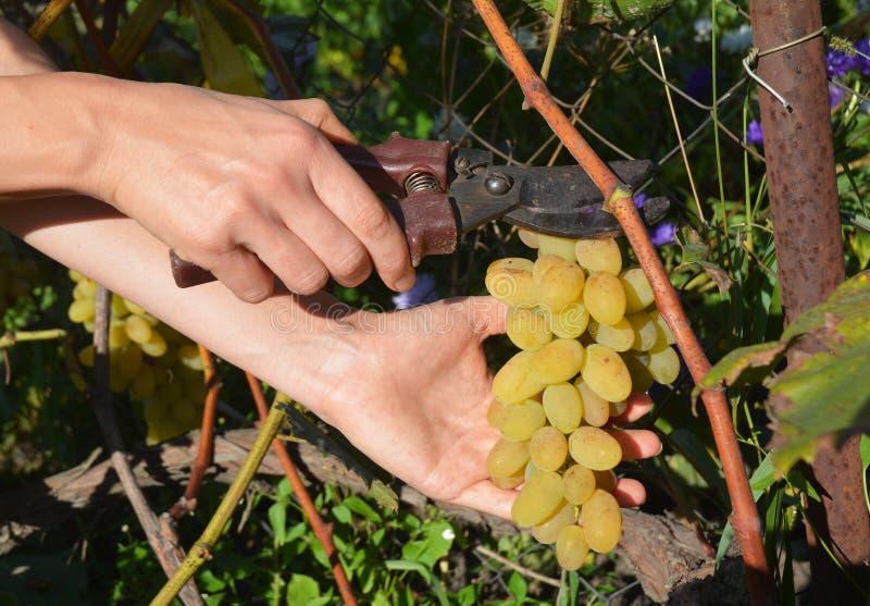 zbieranie winogron Rolników rżnięci świezi biali winogrona dla robić winu obraz stock