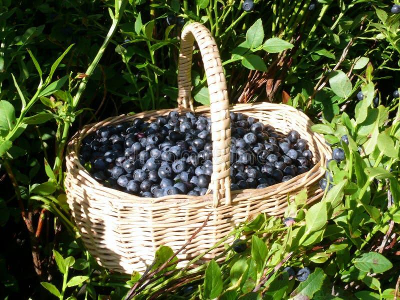 zbierz forrestberries obrazy stock