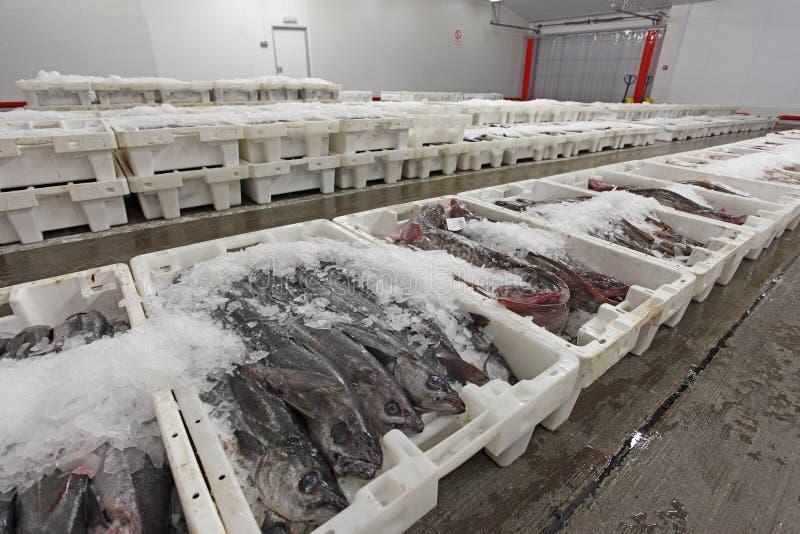 zbiorników ryba targowy klingeryt przygotowywający obrazy stock