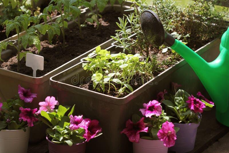 Zbiorników warzyw ogrodnictwo Jarzynowy ogród na tarasie Ziele, pomidoru rozsadowy dorośnięcie w zbiorniku Kwiat fotografia royalty free