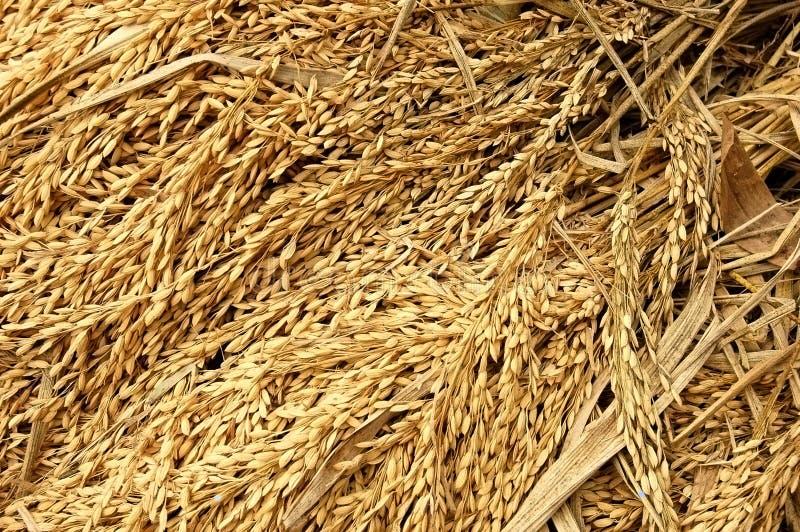 zbioru ryżu zdjęcie royalty free