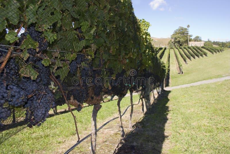zbioru winogron obraz royalty free