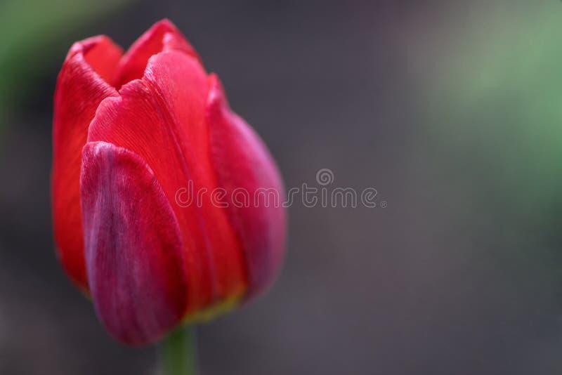 Zbliżenie duży pączek czerwony tulipan na lewicie dobro tam, jest pustym przestrzenią pod inskrypcją, copyspace zdjęcia stock