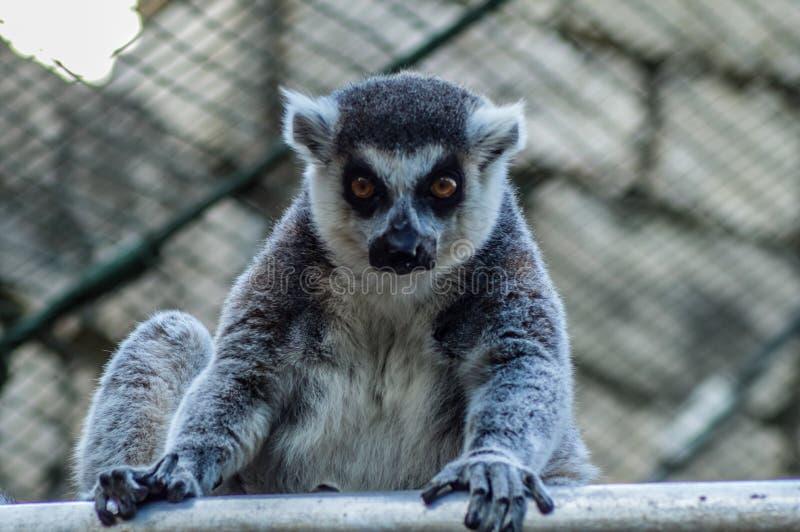 Zbliżenie portret enadangered śliczny ringowy ogoniasty lemur l Lemu zdjęcia royalty free