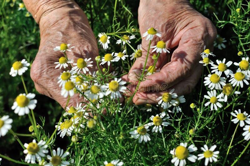 Zbliżenie ręki starsza kobieta, podnosi kwitnącego wildflowers rumianku zdjęcia stock