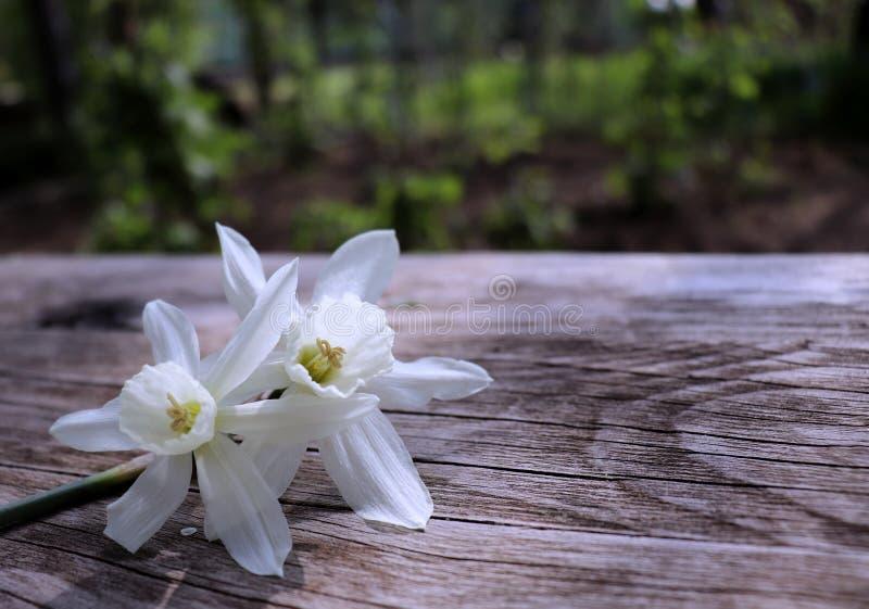 Zbliżeń piękni biali daffodils na brown drewnianym tła zbliżeniu wiosna kwiat tło mleczy spring pełne meadow żółty 2007 pozdrowie fotografia royalty free