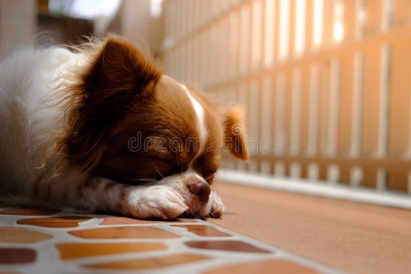 Zbliżenia żeński chihuahua relaksuje zdjęcie stock