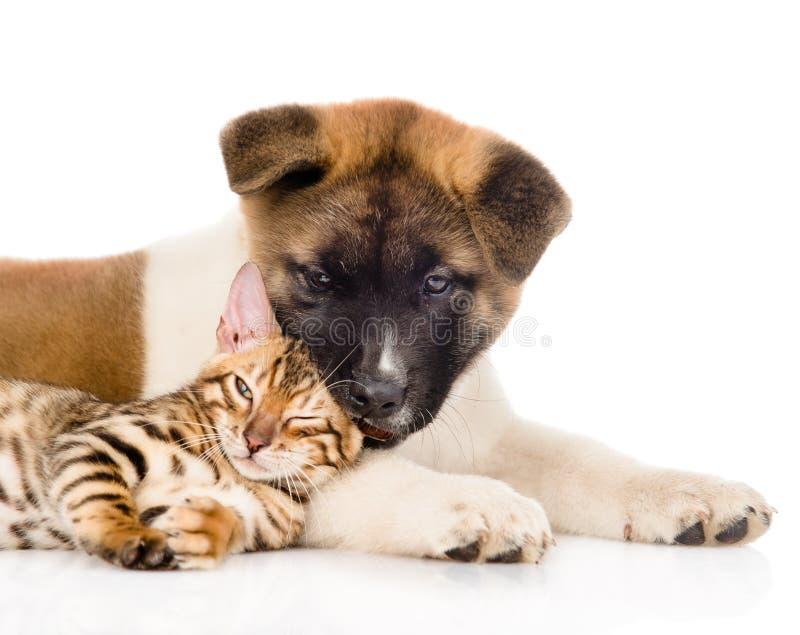 Zbliżenia Akita inu szczeniaka pies bawić się małego Bengal kota wpólnie Odizolowywający na bielu zdjęcie royalty free