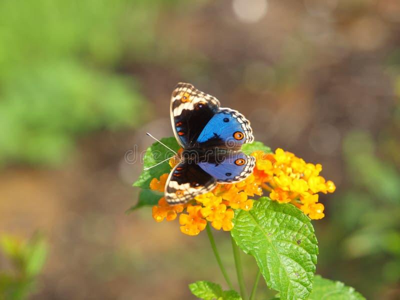 zbliżenia błękitny motyli pansy zdjęcie royalty free