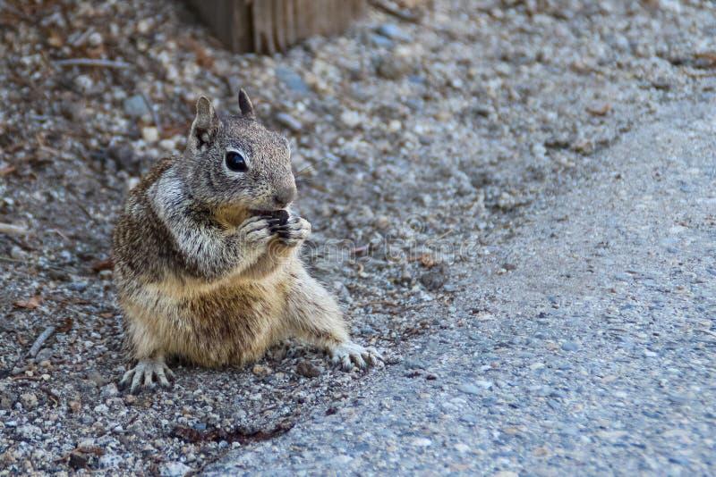 Zbliżenia California spermophilus zmielony wiewiórczy beecheyi na poboczu obraz stock