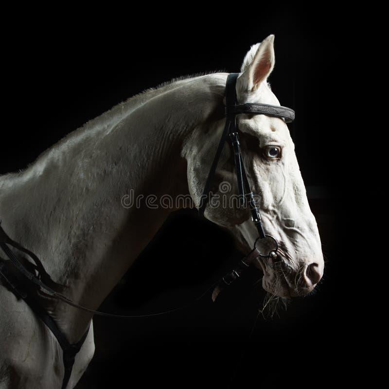 zbliżenia ciemnego konia portreta biel fotografia royalty free