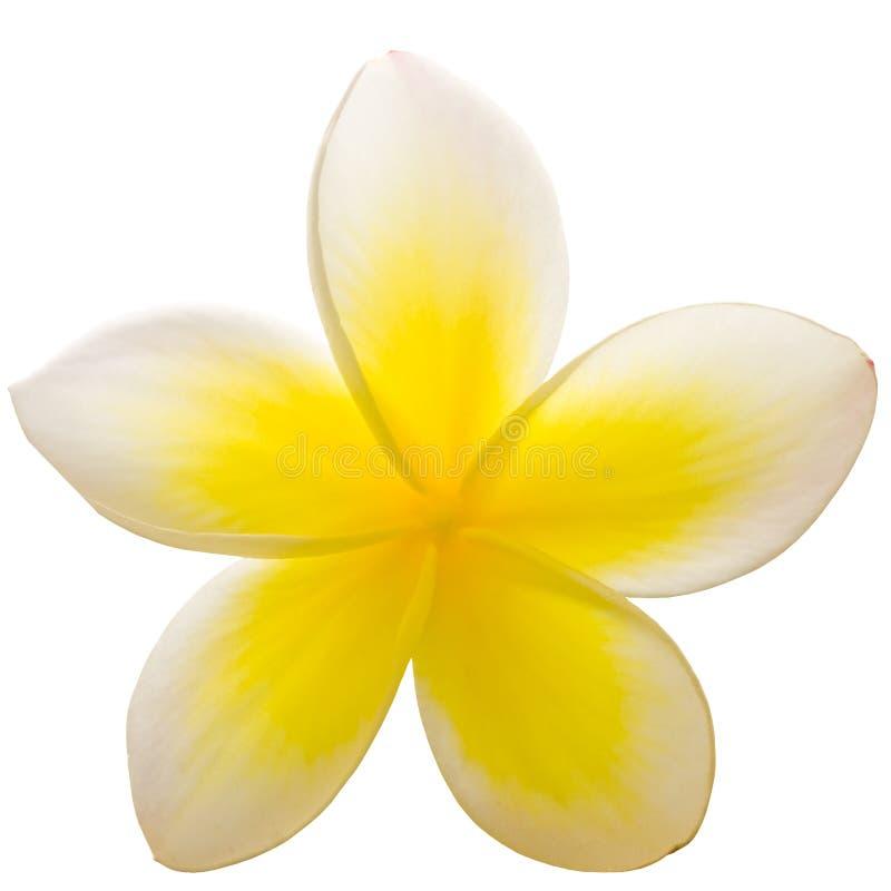 zbliżenia frangipani zdjęcie stock