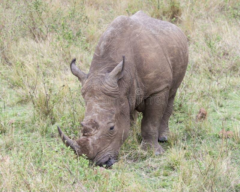 Zbliżenia frontview biel nosorożec stoi łasowanie trawy obrazy royalty free
