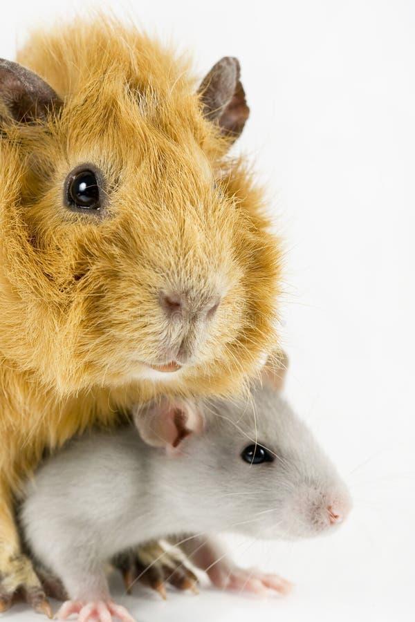 zbliżenia królik doświadczalny szczura biel zdjęcia stock
