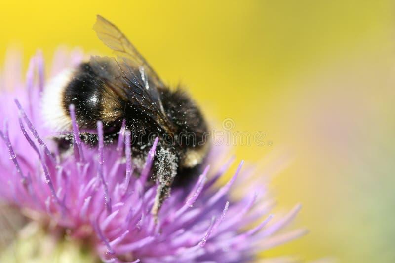 zbliżenia kwiat pszczoły obraz stock