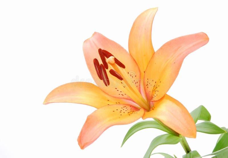 zbliżenia kwiatu leluja fotografia royalty free