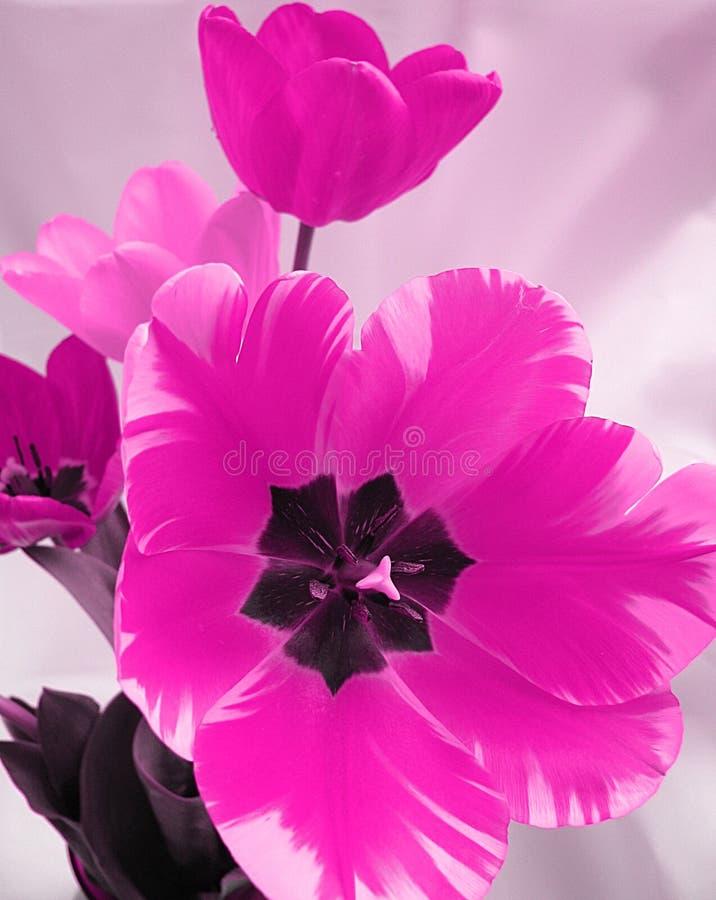 zbliżenia kwiatu menchie fotografia stock