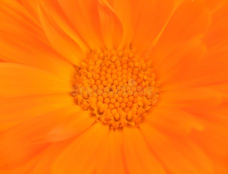 zbliżenia kwiatu pomarańcze obraz stock