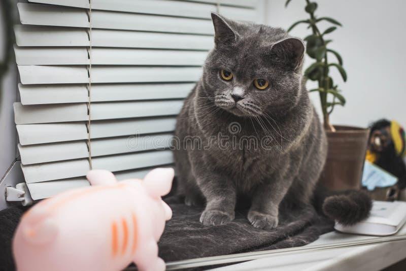 Zbliżenia Maine Coon Zdziwiony kot zdjęcie stock