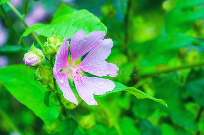 Zbliżenia okwitnięcia widok Lavatera thuringiaca kwiat obraz royalty free
