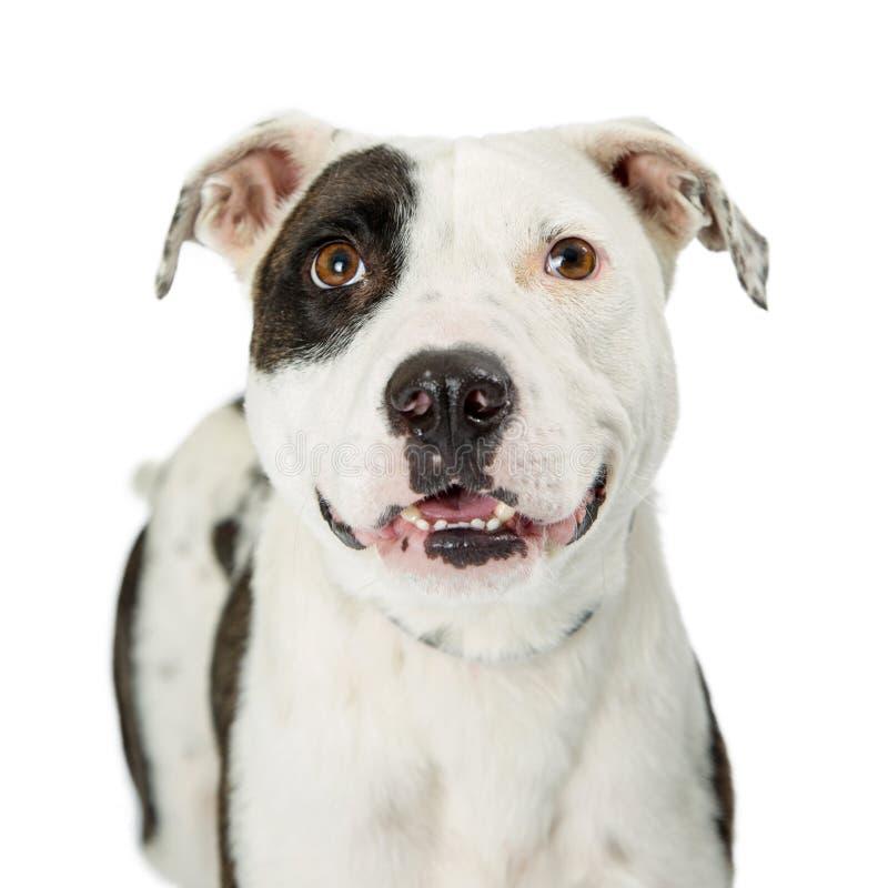 Zbliżenia pit bull Szczęśliwy Uśmiechnięty Crossbreed obraz royalty free