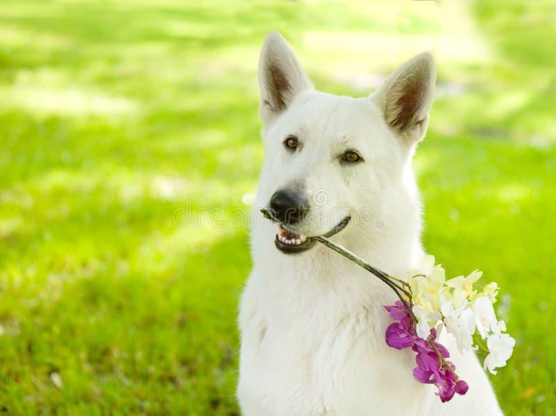 Zbliżenia Purebred mienia Biały Szwajcarski Pasterski kwiat w swój mout obraz royalty free