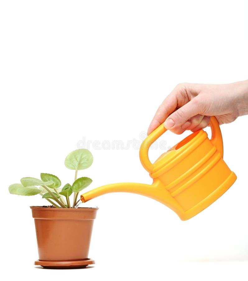 Zbliżenia ręka target904_1_ rośliny z podlewaniem może fotografia royalty free