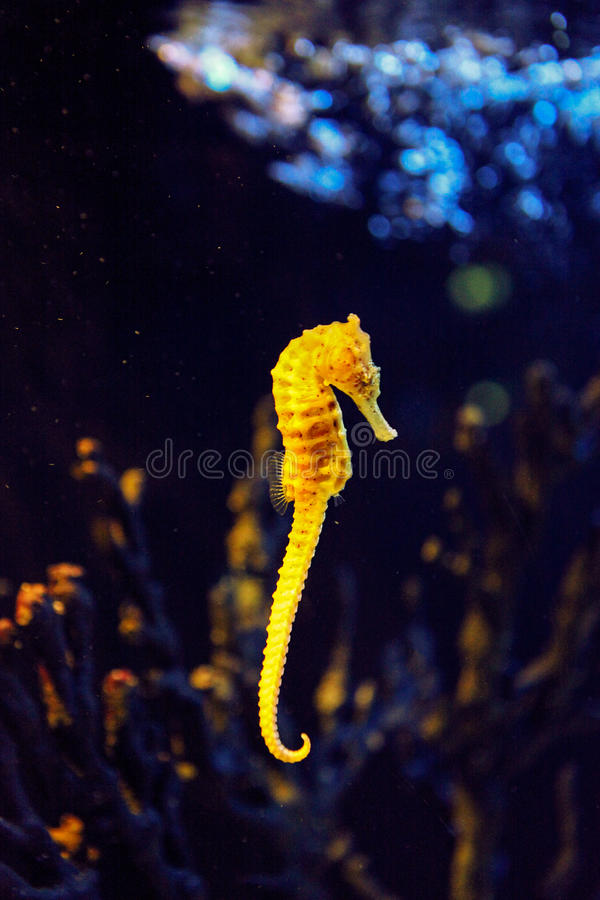 Zbliżenia seahorse dopłynięcie w kolorowej rafie koralowa obrazy royalty free