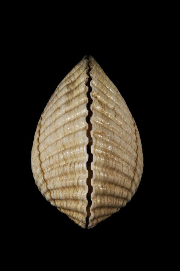 zbliżenia seashell zdjęcie stock