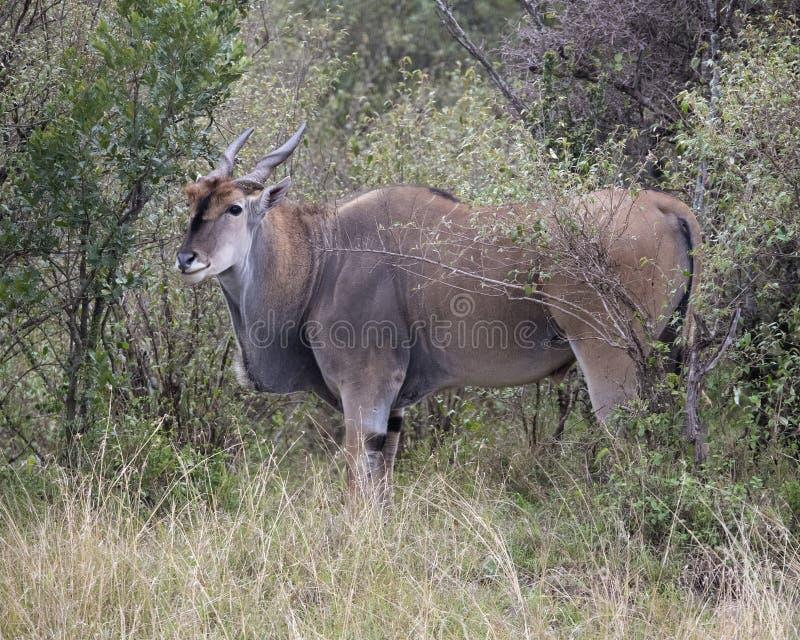 Zbliżenia sideview wielka Eland pozycja w krzakach i trawie patrzeje naprzód zdjęcie stock