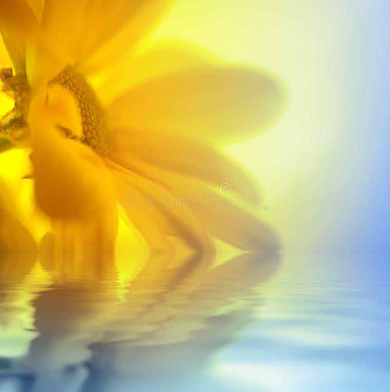 zbliżenia stokrotki kolor żółty fotografia stock