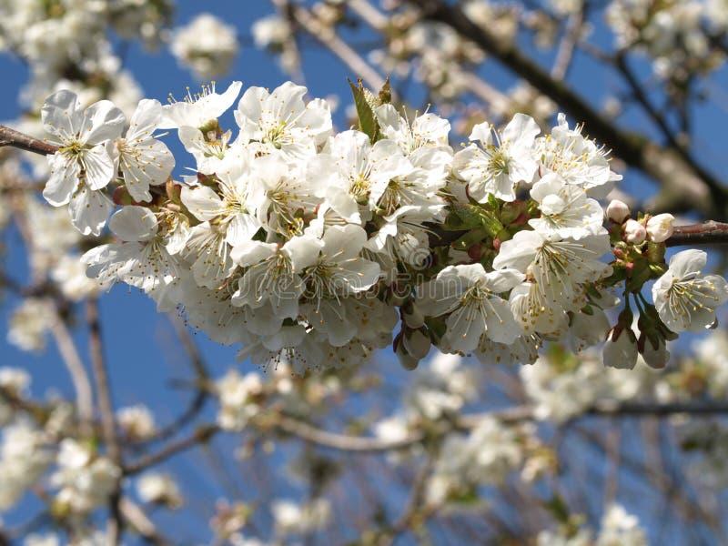 zbliżenia TARGET3780_0_ czereśniowy drzewo obrazy royalty free