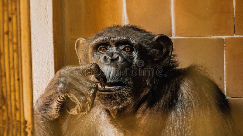 Zbliżenia twarzy szympansa, małe rozmycie zdjęcia royalty free