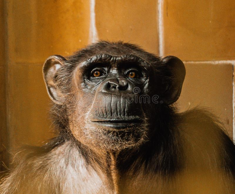 Zbliżenia twarzy szympansa, małe rozmycie obrazy royalty free