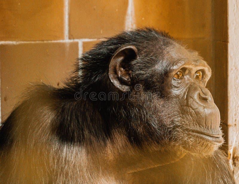 Zbliżenia twarzy szympansa, małe rozmycie zdjęcia stock