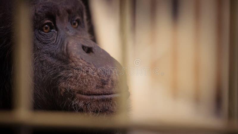 Zbliżenia twarzy szympansa, małe rozmycie zdjęcie stock