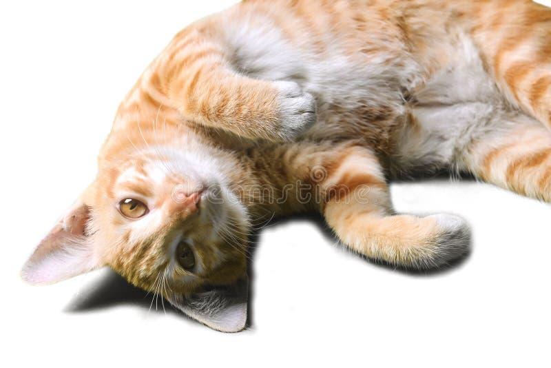 Zbliżenia zwierzęcia domowego kota lying on the beach na białych tło niewinnie oczu Ślicznych oczach obraz stock