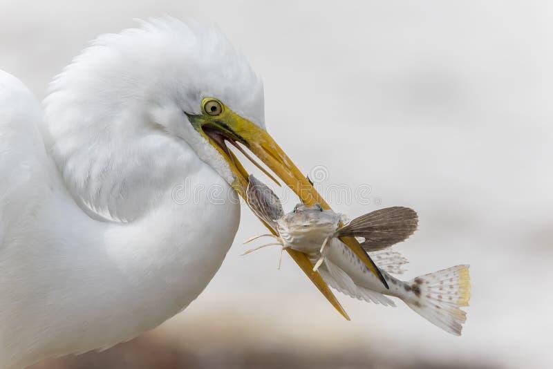 Zbliżenie Łapie ryba Wielki Egret - Floryda obrazy stock