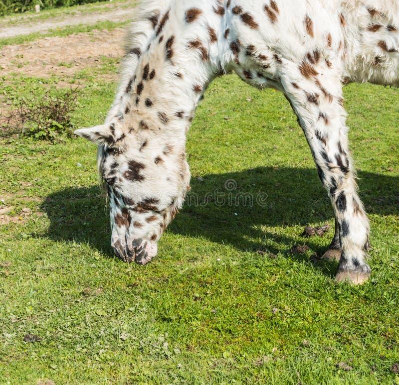 Zbliżenie łasowanie biały koń z brązu i czerni kropkami obrazy royalty free