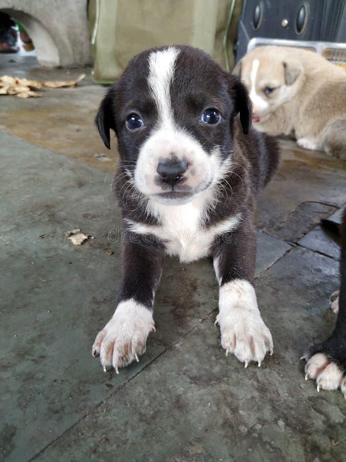 Zbliżenie Śliczny czarny biały szczeniak z niebieskimi oczami obraz royalty free