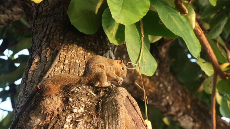 Zbliżenie śliczny wiewiórczy łasowanie na drzewie na słonecznym dniu z zamazanym tłem obrazy royalty free