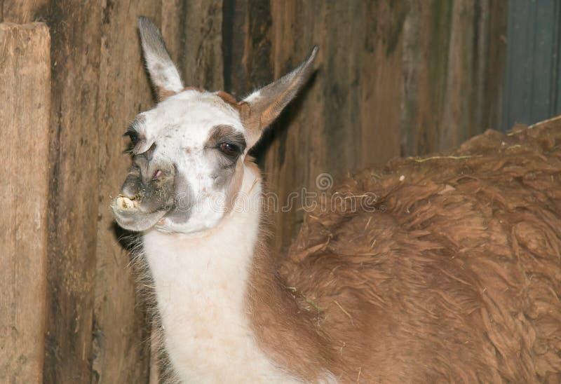 Zbliżenie śmieszna lama zdjęcia royalty free